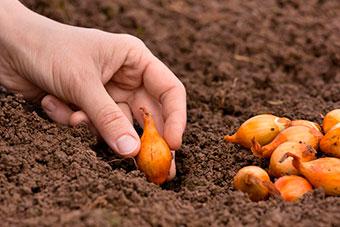 Когда и как сажать лук севок осенью под зиму в 2019 году